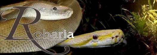 Schlangenshow Robaria mit LED-Lasershow und Schlangentanz.
